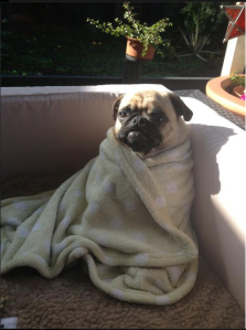 "It's a pug in a blanket. We're at an ""I can't"" level of 8/10 right now."