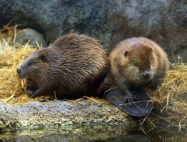 beaver brigade jq 1