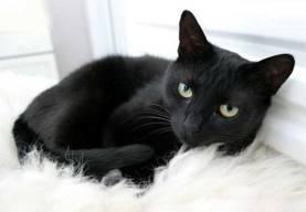 black-cats-1-1